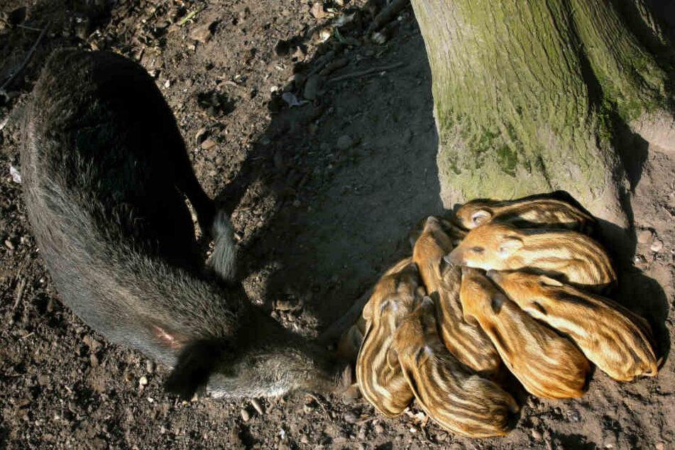 Wildschwein wird auf A4 totgefahren, acht Frischlinge bleiben ohne Mutter zurück