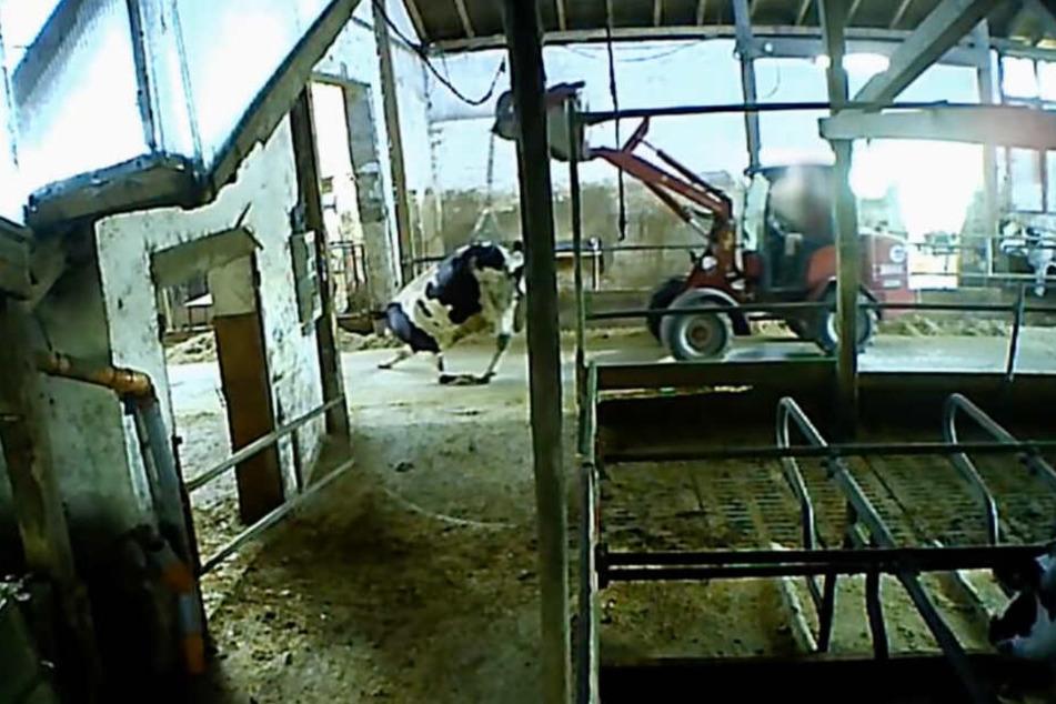 Das Video der Soko Tierschutz zeigt, wie eine Kuh von einem Schlepper durch den Stall geschleift wird.