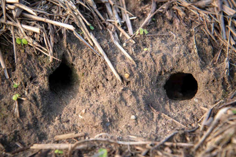 Mäuse haben Löcher in ein Feld gegraben. (Symbolbild)