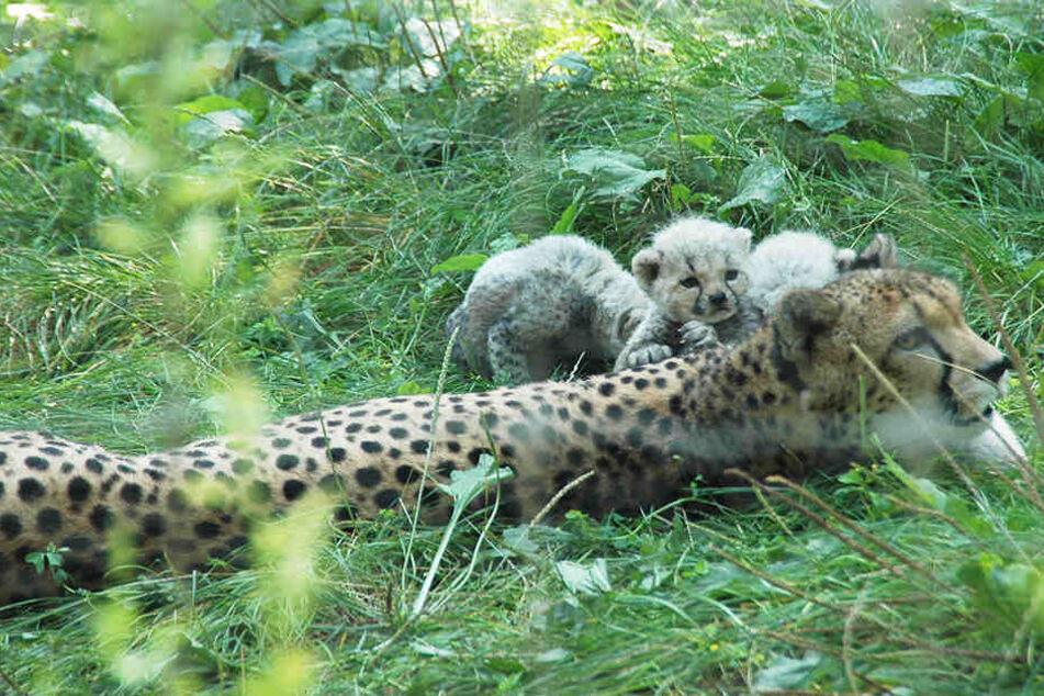 Die kleinen Racker tollen mit ihrer Mutter umher.