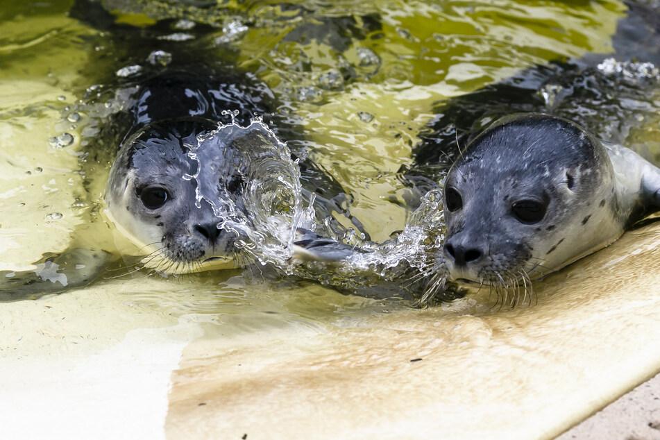 Erster Seehund-Nachwuchs ist fit fürs Wattenmeer