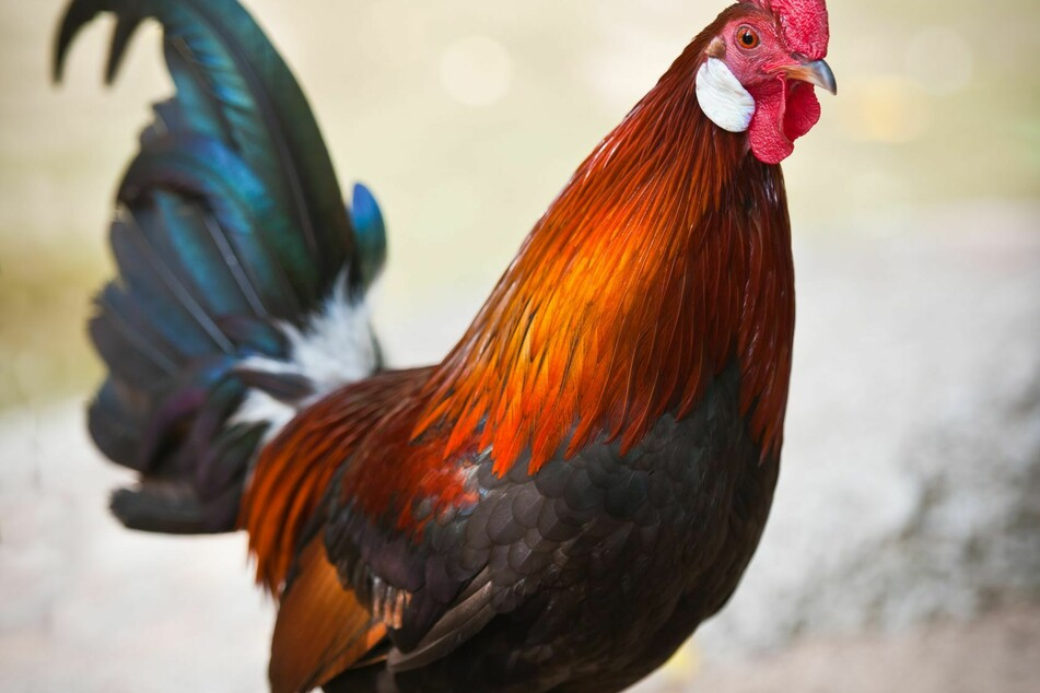Police officer killed by rooster during raid on illegal cockfight