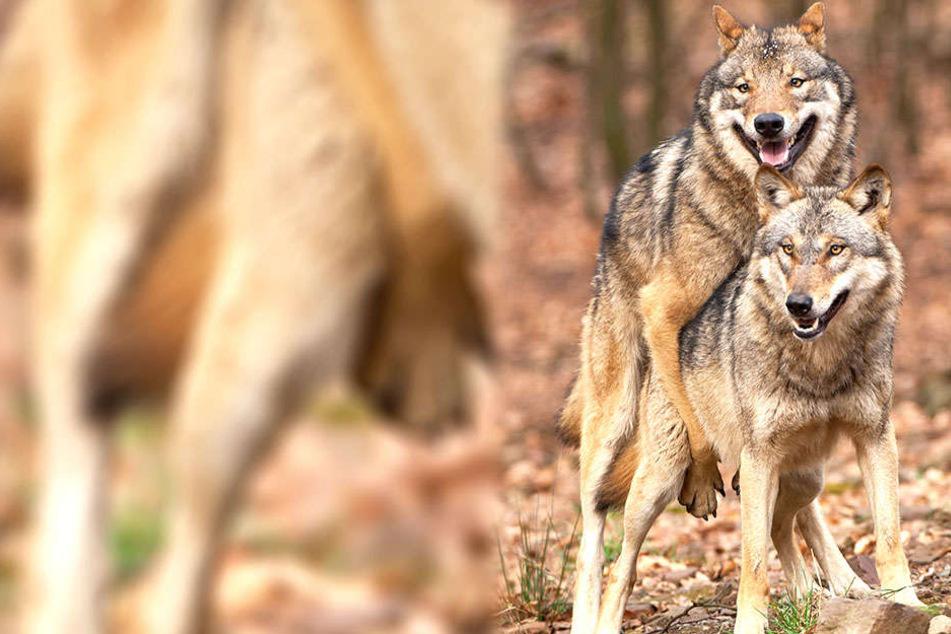 Rund 200 Wölfe gibt es in Sachsen. Die können auch ohne Hunde für Nachwuchs sorgen.