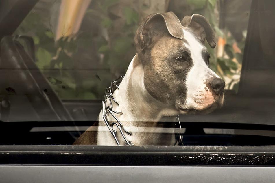 Ein Hund musste jetzt sterben, weil er im heißen Auto zurückgelassen wurde. (Symbolbild)