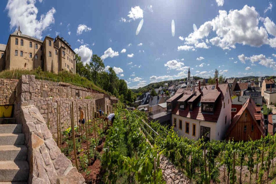 Am Fuße von Schloss Lichtenstein wurden die Terrassen des historischen Weinbergs restauriert. Die Trockenmauern speichern die nötige Wärme.