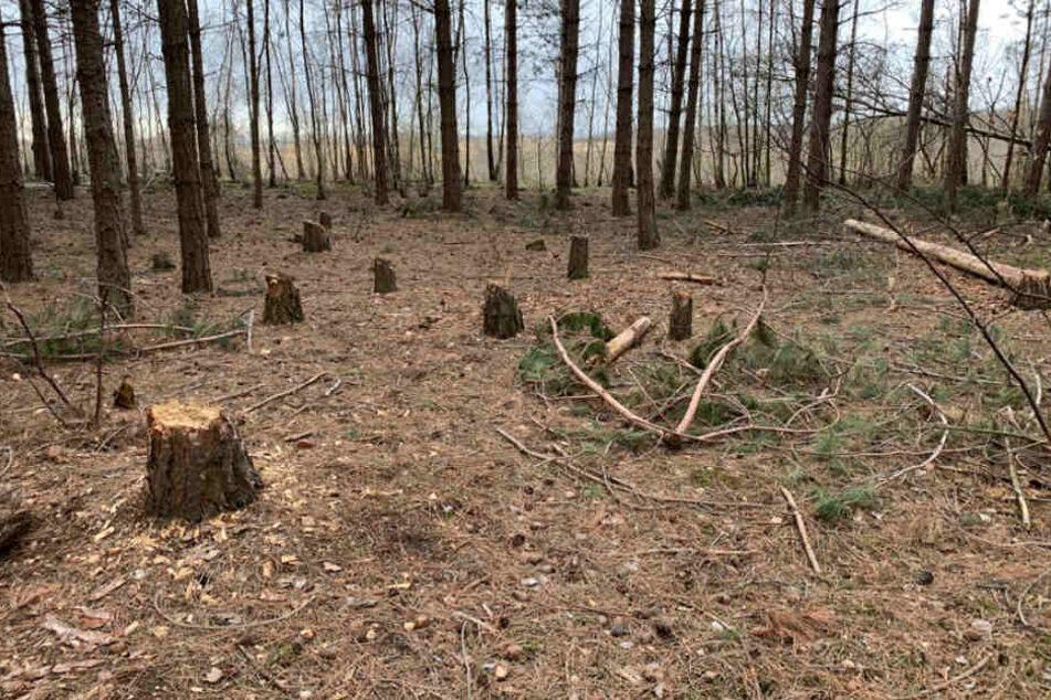 Frische Baumstümpfe im Hambacher Forst.