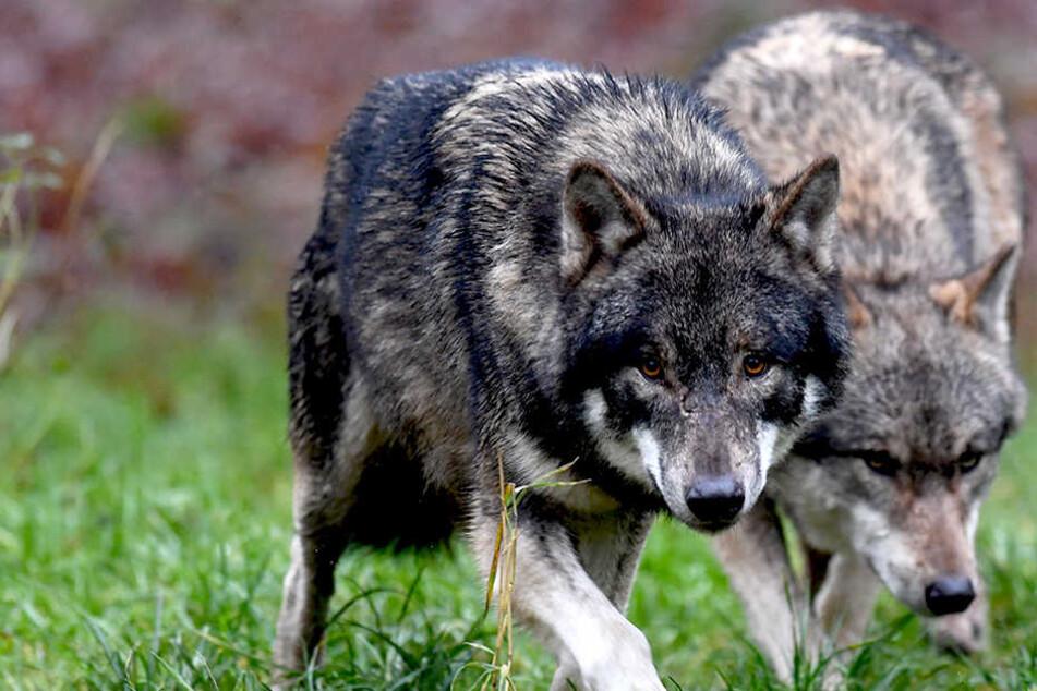 Für das Stadtgebiet Dresden gibt es drei gesicherte Nachweise von Wolfssichtungen.