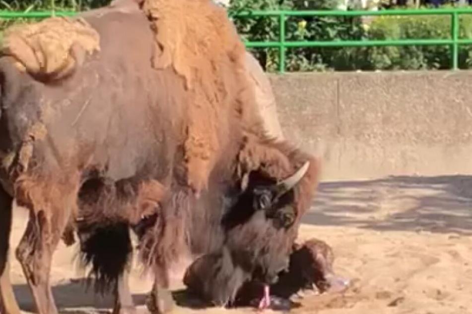 Das Bison-Junge im Kölner Zoo wurde vor den Augen der Zuschauer geboren.