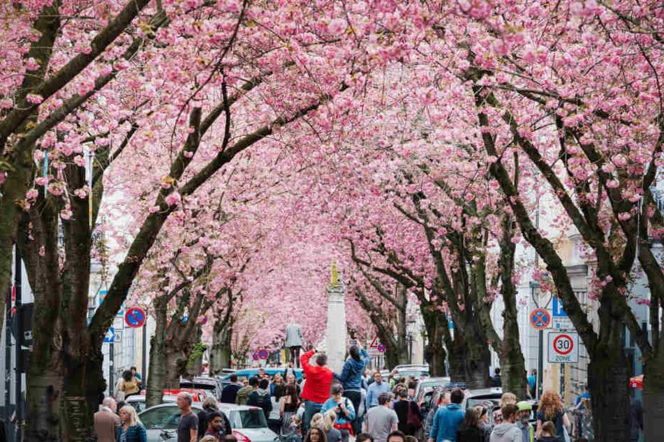 Die prächtige Kirschblüte vor wenigen Tagen in Bonn.