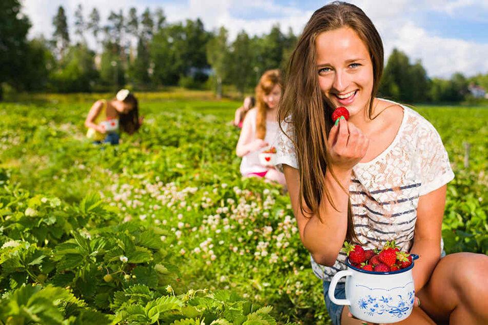 An vielen Orten in Sachsen kann man Erdbeeren selber pflücken.