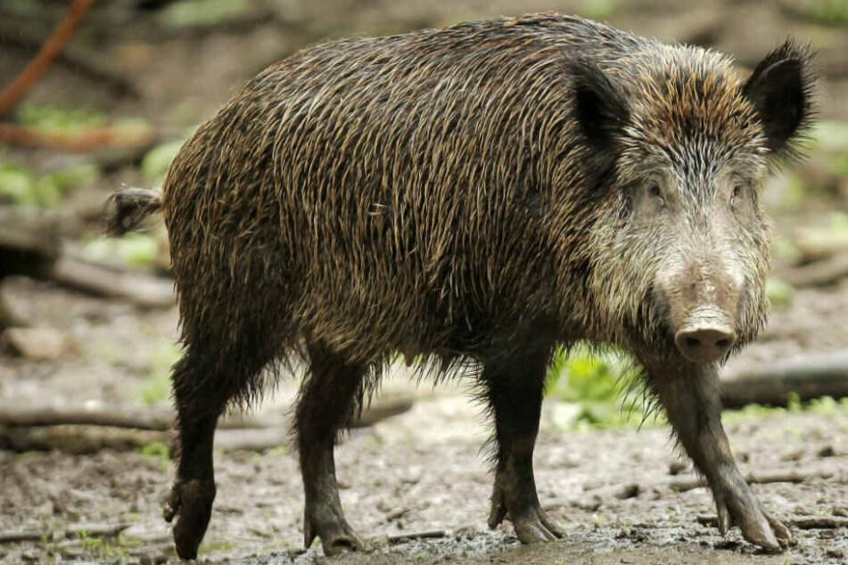 Gehört in den Wald und nicht in den Garten: Das Foto aus dem Mai 2013 zeigt ein Wildschwein in einem Wildpark in Ludwigshafen.