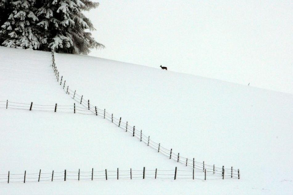 Durch den Schneefall am Alpenrand sind viele Wildtiere bei der Futterversorgung auf den Menschen angewiesen.