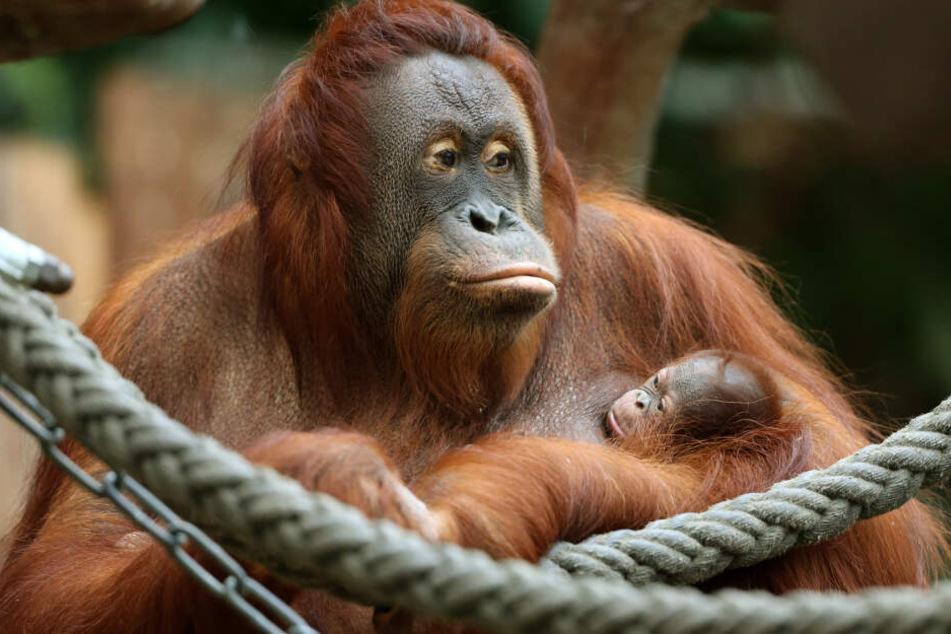 """Über 30 Tiere starben, darunter auch Orang-Utan """"Lea"""" mit """"Suria""""."""