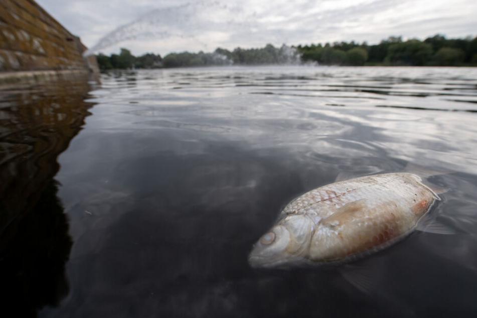 Der Max-Eyth-See bietet derzeit ein Bild des Jammers. Tausende Fische starben.