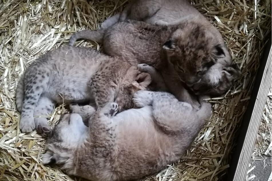 Sind sie nicht herzallerliebst? Im Leipziger Zoo haben Anfang März vier Löwenbabys das Licht der Welt erblickt.