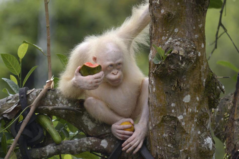 Eigentlich sollte die weiße Orang-Utan-Dame Alba schon in diesem Sommer zurück in den Regenwald.