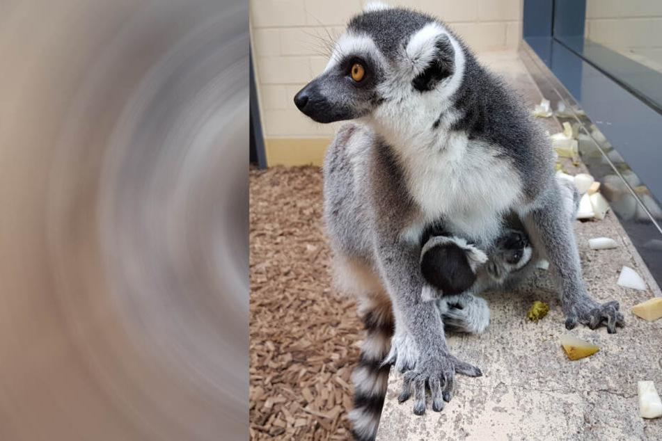 Wie süß! Erfurter Zoo freut sich über Nachwuchs im Dreierpack