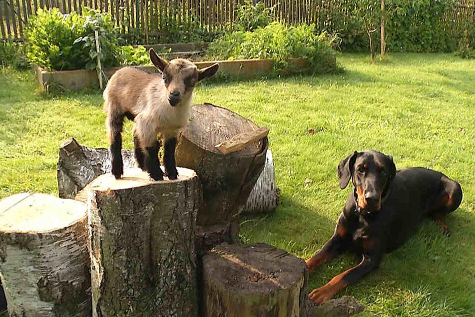 Ungewöhnliche Tierfreundschaft: Dobermann adoptiert Baby-Ziege