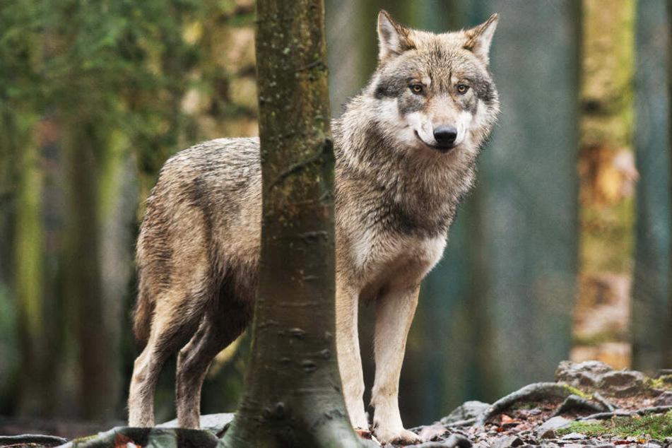 Zwei Wölfe könnten schon sehr bald in Hessen offiziell heimisch sein. (Symbolbild)