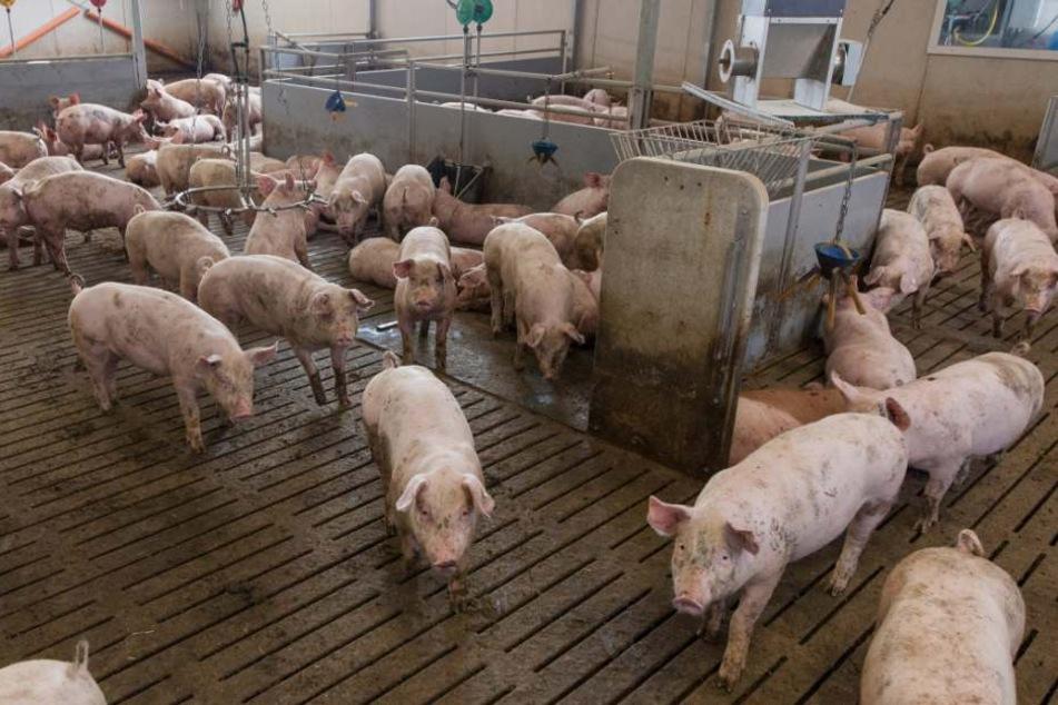 Auch Schweinehalter sollen das vergiftete Futter erhalten haben.