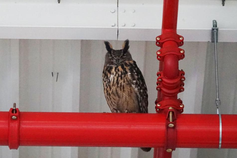 Uhu-Dame Hedwig ist ausgeflogen.