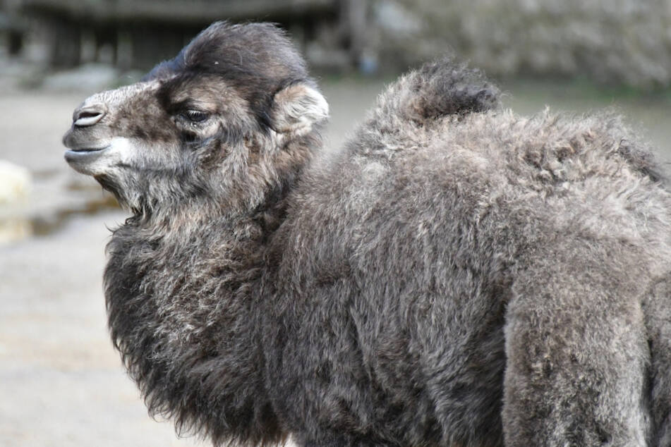 Echt haarig: Kamel-Nachwuchs im Tierpark Görlitz!