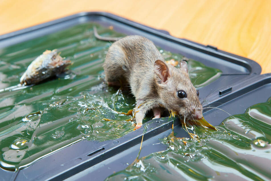 Die Mäuse starben einen qualvollen Tod in den vom 42-Jährigen ausgelegten, sogenannten Klebefallen. (Symbolfoto)
