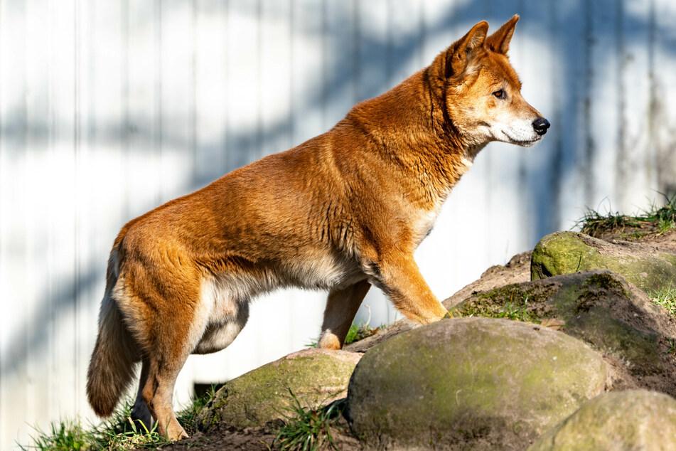 Nur ein Dingo überlebte: Tierpark stellt Welpen vor
