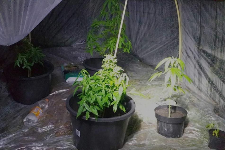 Die niederländische Polizei fand in einem Wald ein kleines Gewächshaus mit Marihuanapflanzen.