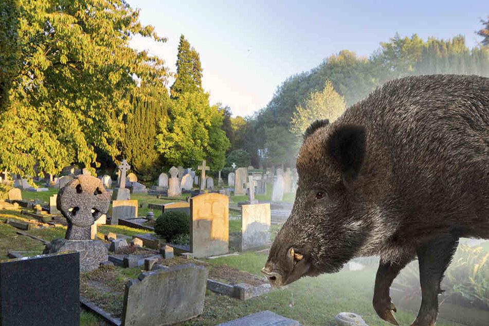 Den Wildschweinen gefiel es so gut auf dem Alten Friedhof in Sennestadt, dass sie ein Feld der Verwüstung hinterließen. (Symbolbild)