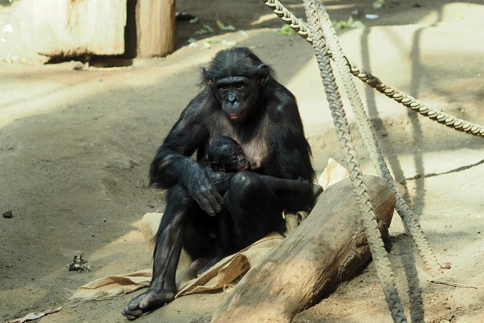 Bonobo-Baby Gerda ist mittlerweile schon fast einen Monat alt.