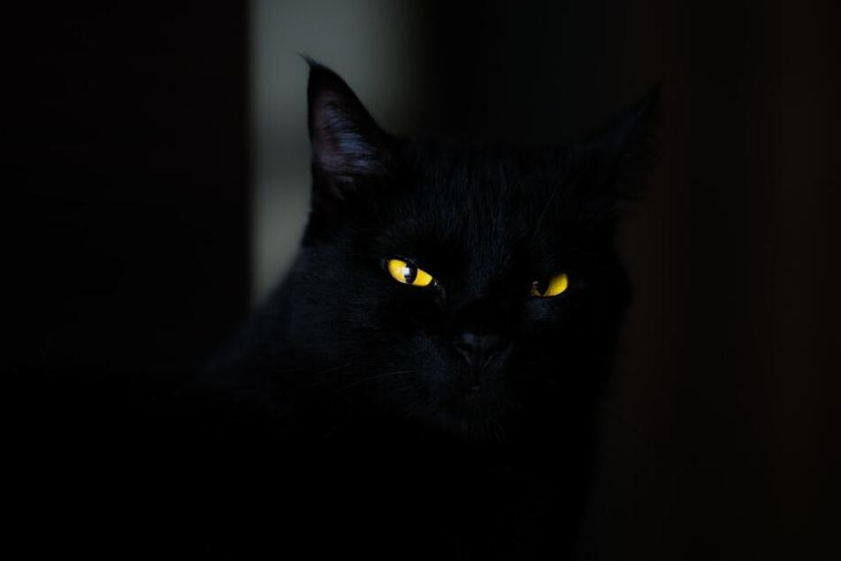 Auch heute leiden schwarzen Katzen unter dem zugeschriebenen Stigma als Unglücksbringer.