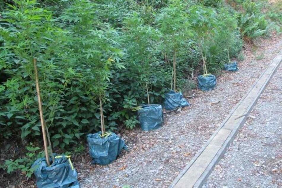 Die Polizei stellte insgesamt 36 Kübel mit Cannabis-Pflanzen sicher.