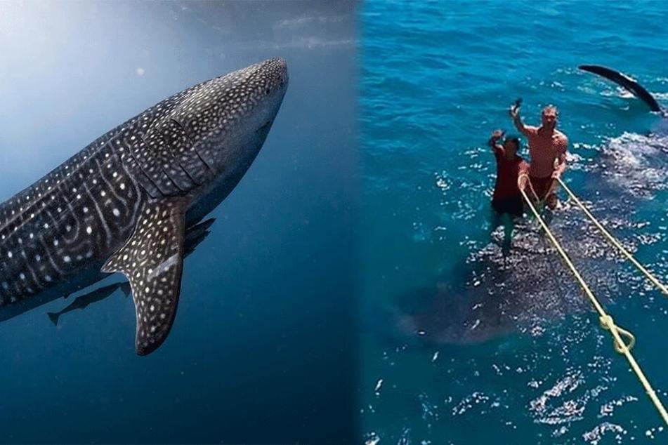 Tierquälerei: Hier surfen zwei Männer auf einem Walhai