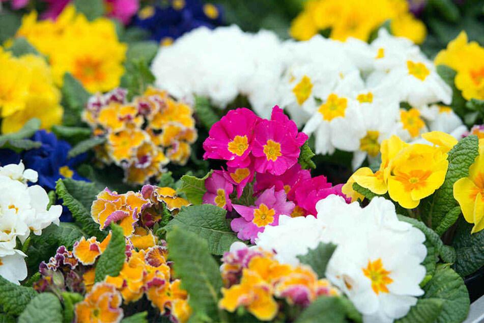 Eigentlich sollten die Blumen schon in Beeten und auf Balkonen erfreuen.