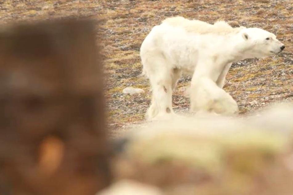 Schockierendes Video: Eisbär verhungert auf der Suche nach Nahrung