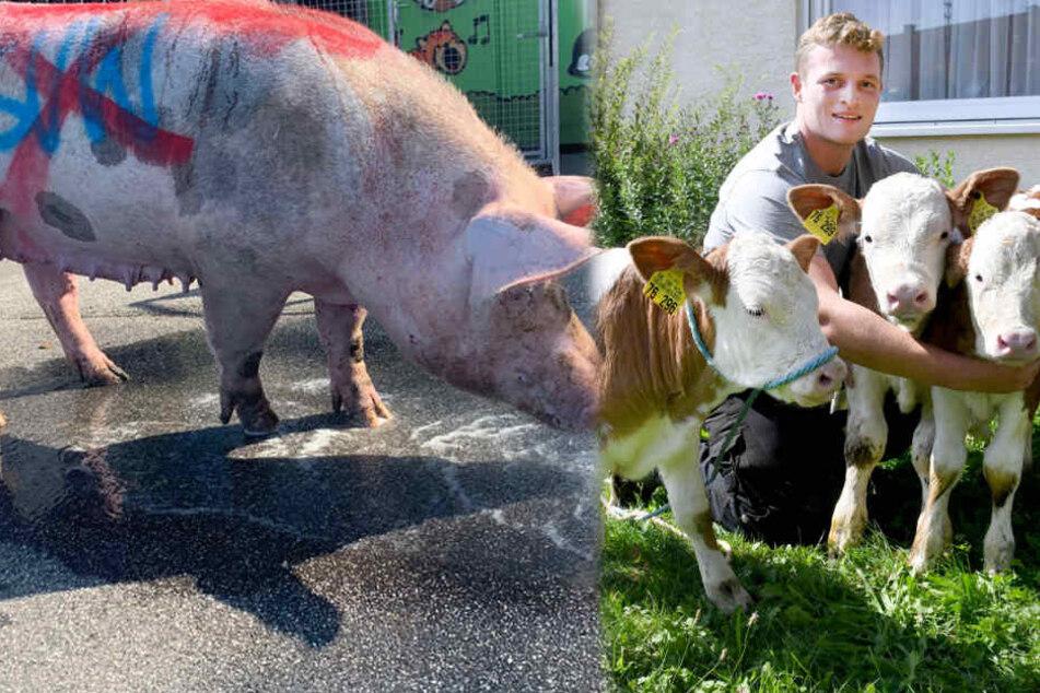 Beschmiertes Schwein, Hund in Polizei-Dusche und Kühe als Dreifach-Mütter: 2019 war tierisch!