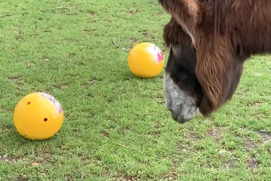 """Der Esel """"Michel"""" im Kölner Zoo wählte den Spielball mit dem Gesicht von Queen Elisabeth II. (95)."""
