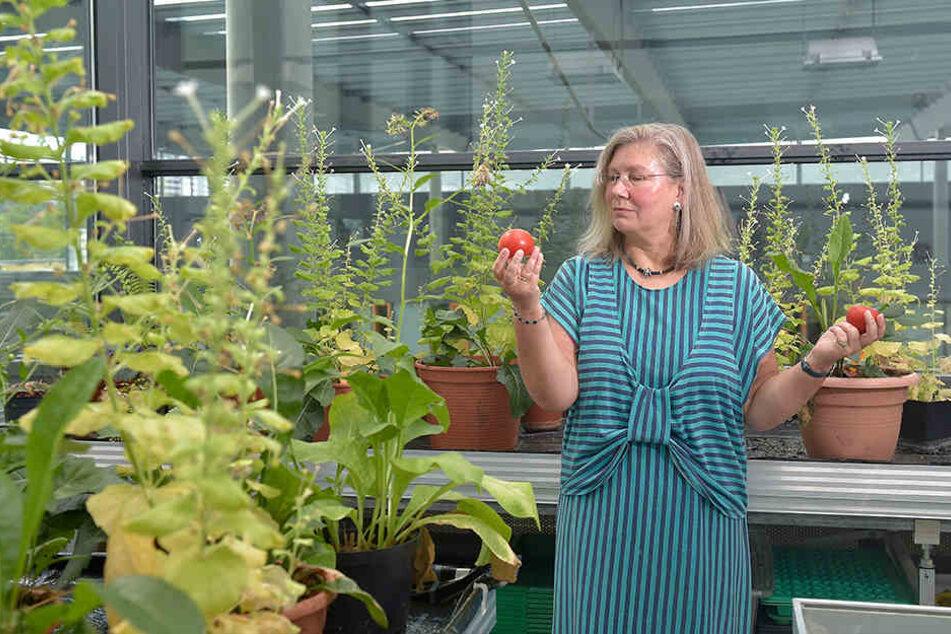 Botanikerin Prof. Dr. Jutta Ludwig-Müller (56) forscht daran, wie Tomaten hitzebeständiger werden können.