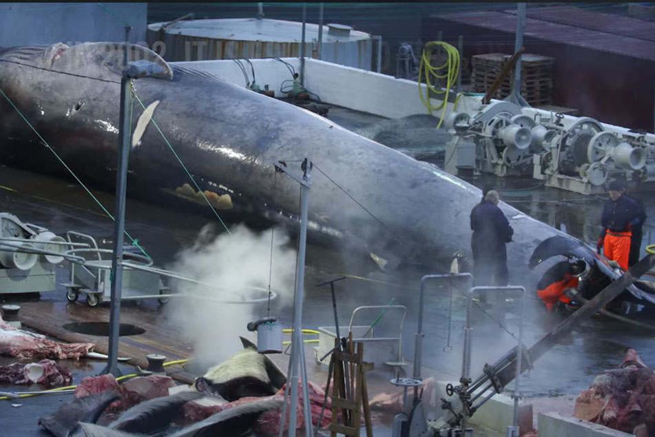 Tierschützer sind sich sicher, dass es sich bei dem geschlachteten Tier um einen Blauwal handelt.