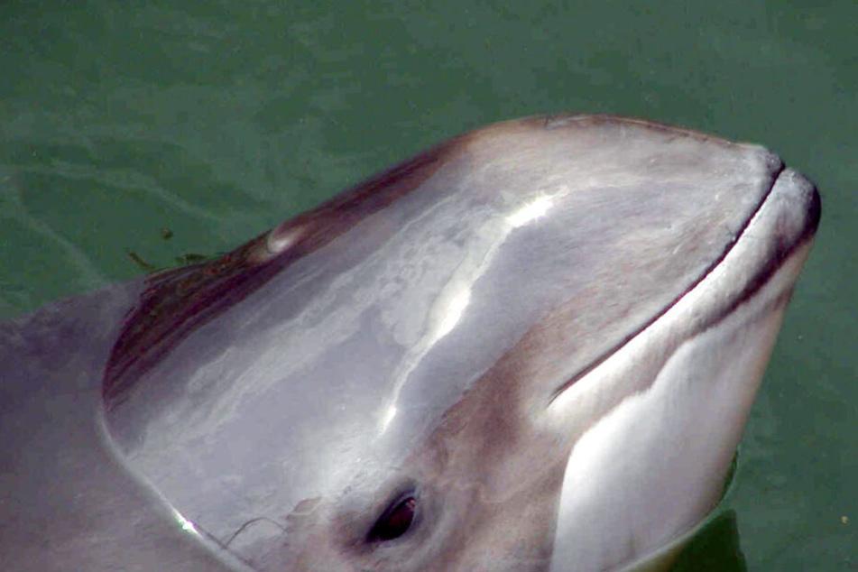 Schleswig-Holstein: Ein Schweinswal schwimmt im Meer. Die EU fördert mit 324 000 Euro die die Technik zum Schutz der Schweinswale in der Ostsee.