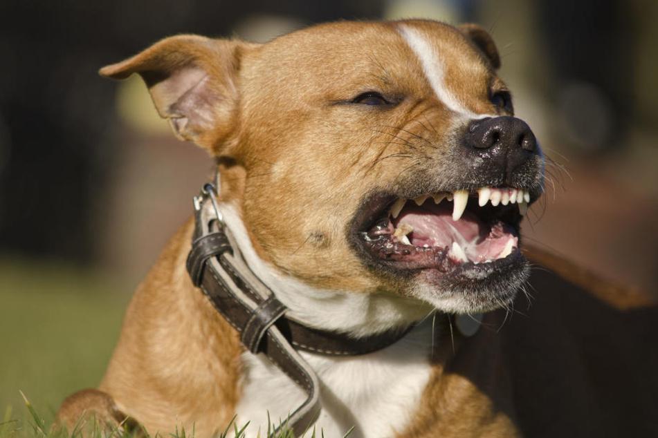 Der beschlagnahmte Hund kam in ein Tierheim. (Symbolbild)