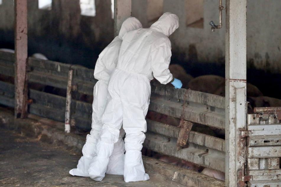 Die Seuche ist bereits im Baltikum, Polen, Tschechien, Rumänien und der Ukraine ausgebrochen.
