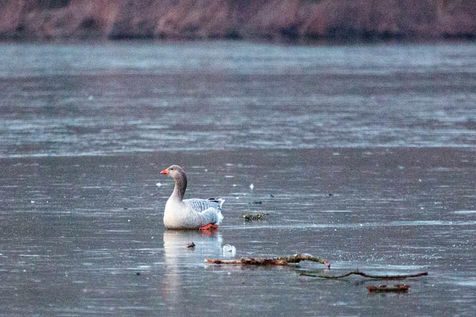 Ist dieser Vogel wirklich auf dem Obersee festgefroren?