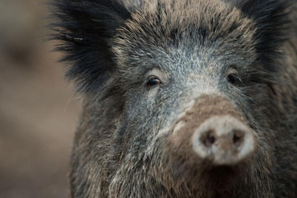 Außer Kontrolle: Wildschwein stürmt an Heiligabend in Mehrfamilienhaus