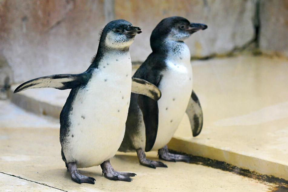 Nach Drama im Dresdner Zoo: Pinguin-Duo wieder zurück!