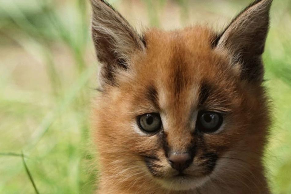 Bereits am 5. Mai ist dieses kleine, süße Karakal-Jungtier geboren.
