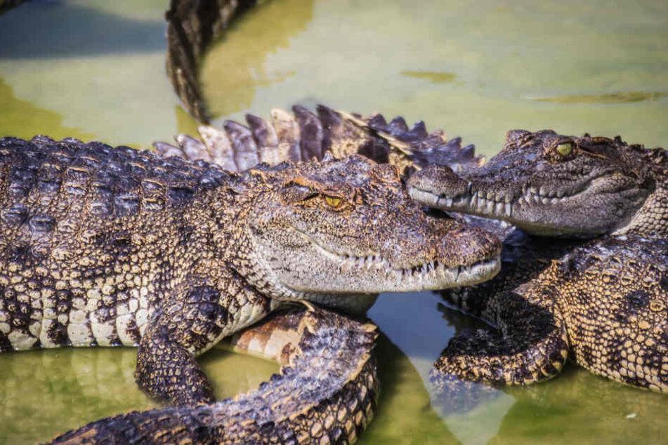 Nach der blutigen Attacke war kein Krokodil mehr am Leben. (Symbolbild)