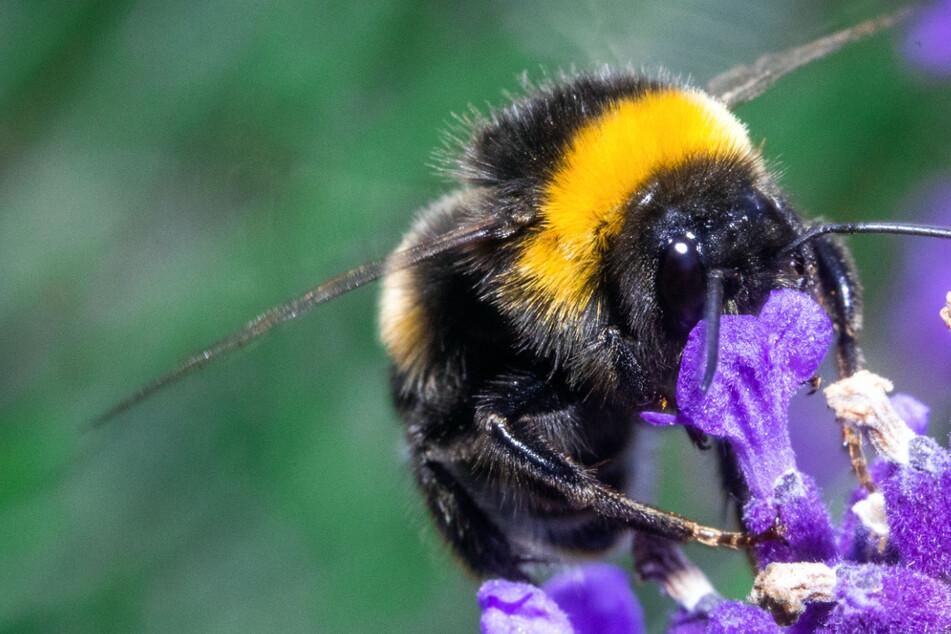 Klein, aber oho: So viele Milliarden ist die Bestäubungs-Arbeit von Insekten wert