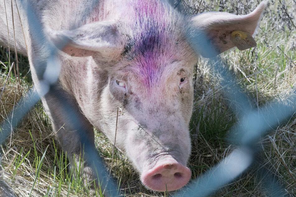 Mehrere Hundert Schweine kamen offenbar bei dem Brand um. (Symbolbild)
